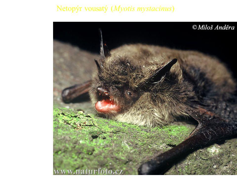 33 Netopýr vousatý (Myotis mystacinus)