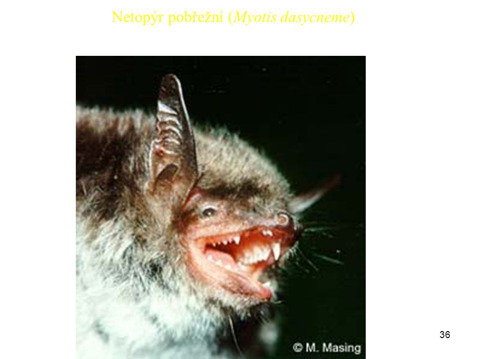 36 Netopýr pobřežní (Myotis dasycneme)