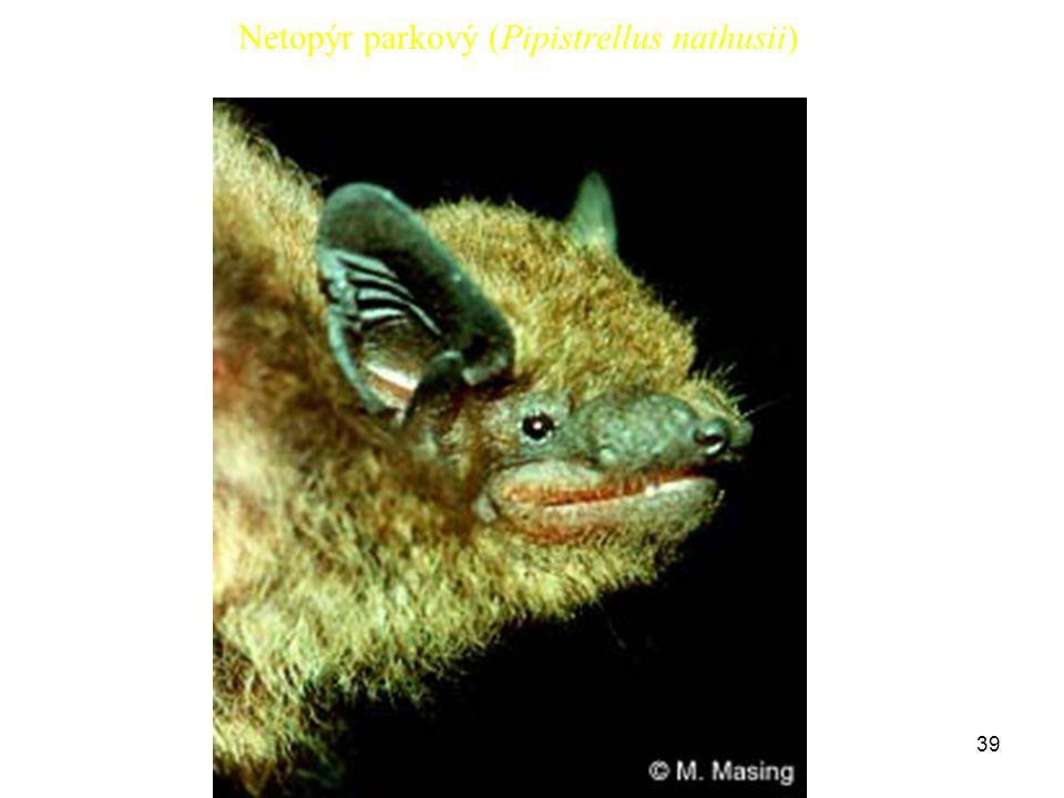 39 Netopýr parkový (Pipistrellus nathusii)