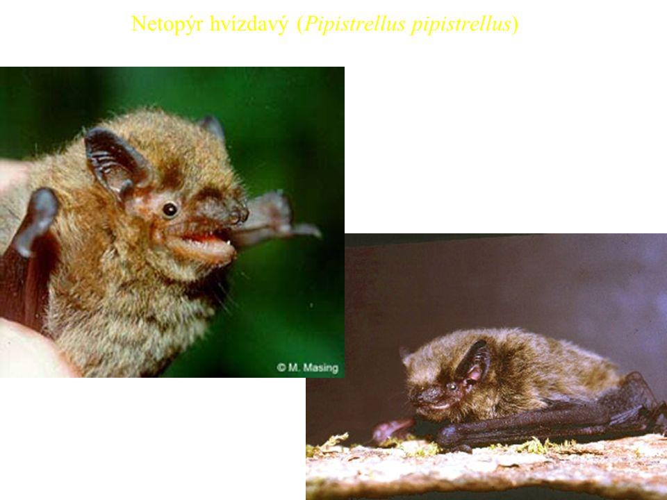 40 Netopýr hvízdavý (Pipistrellus pipistrellus)