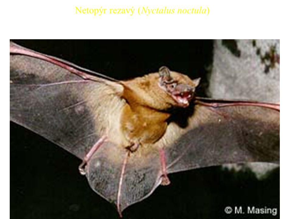 41 Netopýr rezavý (Nyctalus noctula)