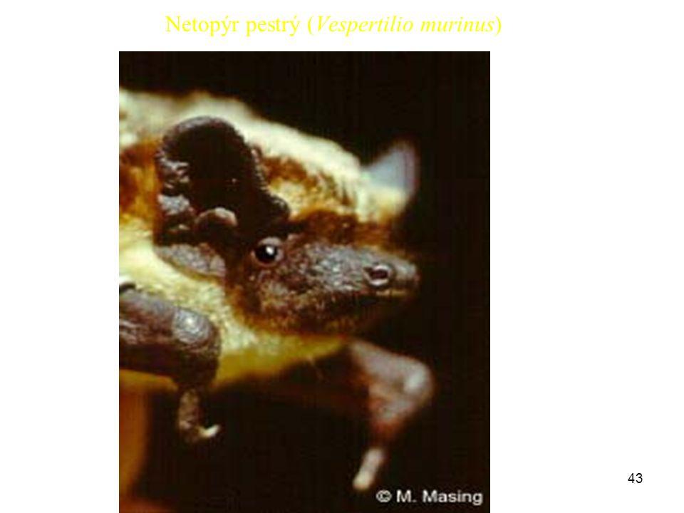 43 Netopýr pestrý (Vespertilio murinus)