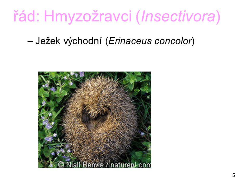 5 řád: Hmyzožravci (Insectivora) –Ježek východní (Erinaceus concolor)