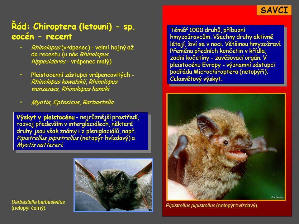 SAVCI Řád: Chiroptera (letouni) - sp.eocén - recent Téměř 1000 druhů, příbuzní hmyzožravcům.