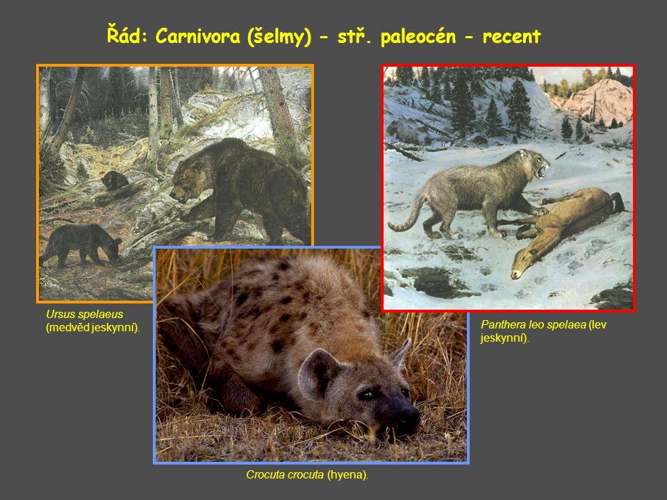 Řád: Carnivora (šelmy) - stř.paleocén - recent Ursus spelaeus (medvěd jeskynní).