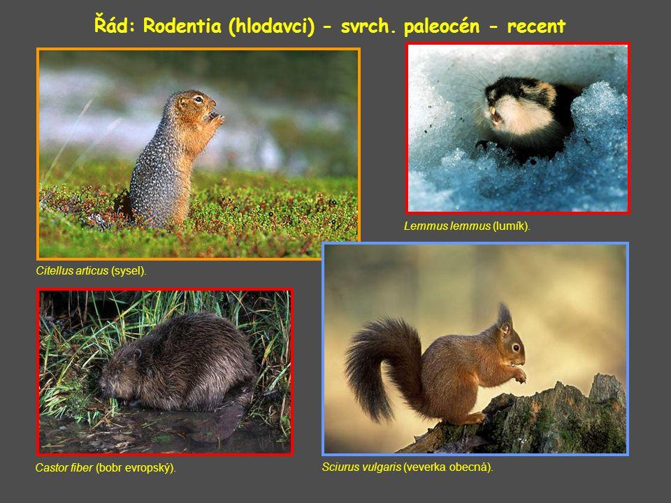 Řád: Rodentia (hlodavci) - svrch.paleocén - recent Citellus articus (sysel).