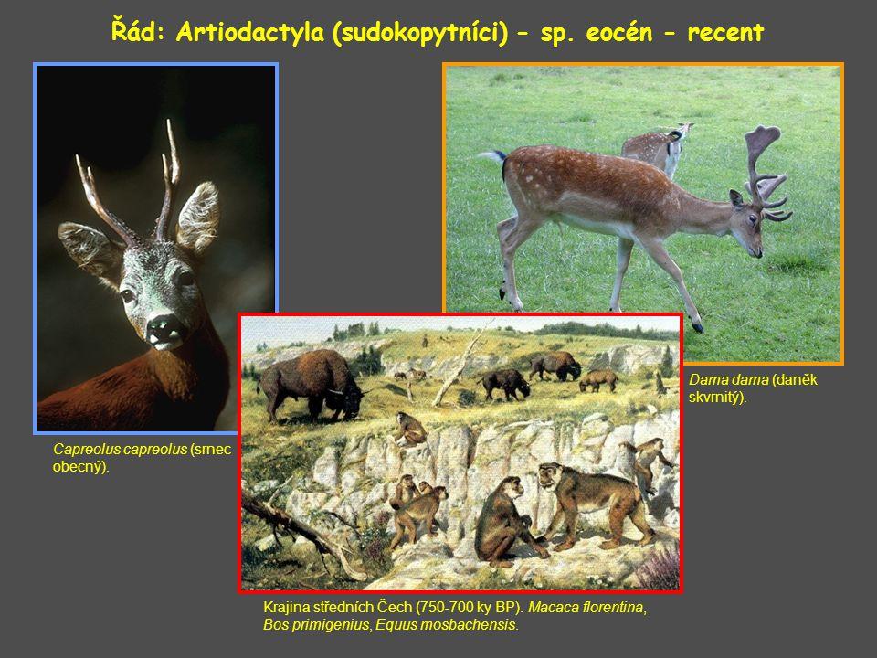 Dama dama (daněk skvrnitý).Řád: Artiodactyla (sudokopytníci) - sp.