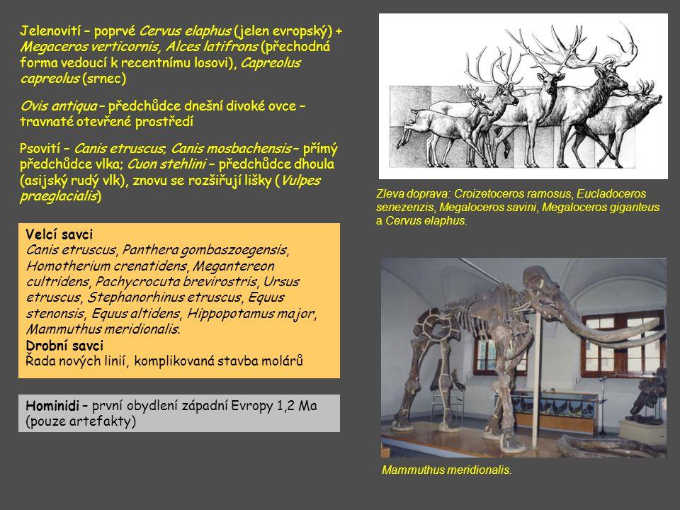Jelenovití – poprvé Cervus elaphus (jelen evropský) + Megaceros verticornis, Alces latifrons (přechodná forma vedoucí k recentnímu losovi), Capreolus capreolus (srnec) Ovis antiqua – předchůdce dnešní divoké ovce – travnaté otevřené prostředí Zleva doprava: Croizetoceros ramosus, Eucladoceros senezenzis, Megaloceros savini, Megaloceros giganteus a Cervus elaphus.