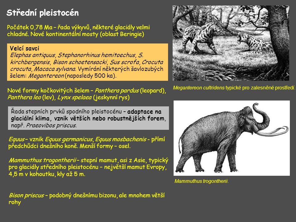 Hominidi – 800 ka – první zbytky člověka v západní Evropě (Atapuerca) – dle některých autorů – nový druh Homo antecessor – přímý potomek Homo ergaster, předek Homo heidelbergensis Homo heidelbergensis – asi 600 ka – předchůdci neandertálců (ti se objevili 200 ka) Svrchní pleistocén Eem – asi 130 – 115 ka, klima poněkud teplejší než dnes, hladina moře asi o 4-6 m výše než dnes Počátek viselského zalednění - 115-75 ka – kolísání klimatu, několik stadiálních a inderstadiálních fází OIS 4 - 75 ka – 60 ka – výrazné ochlazení – ledovce pokryly většinu Skandinávie a tundrové oblasti severní a střední Evropy OIS 3 – mírné oteplení OIS 2 – 22 ka – 17 ka – poslední nápor zalednění, moře pokleslo o 100 – 120 m, zmenšení Středozemního moře + Černého moře Mizí teplomilné eemské prvky – Elephas antiquus, hroši, Stephanorhinus kirchbergensis, Stephanorhinus hemitoechus (již.