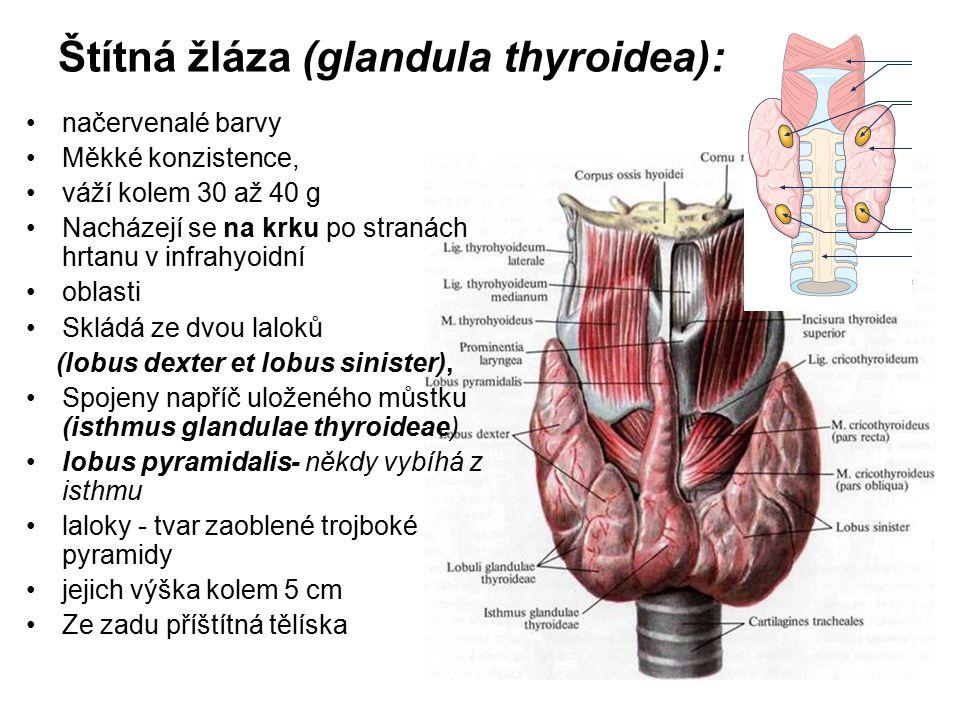 Štítná žláza (glandula thyroidea): načervenalé barvy Měkké konzistence, váží kolem 30 až 40 g Nacházejí se na krku po stranách hrtanu v infrahyoidní oblasti Skládá ze dvou laloků (lobus dexter et lobus sinister), Spojeny napříč uloženého můstku (isthmus glandulae thyroideae) lobus pyramidalis- někdy vybíhá z isthmu laloky - tvar zaoblené trojboké pyramidy jejich výška kolem 5 cm Ze zadu příštítná tělíska