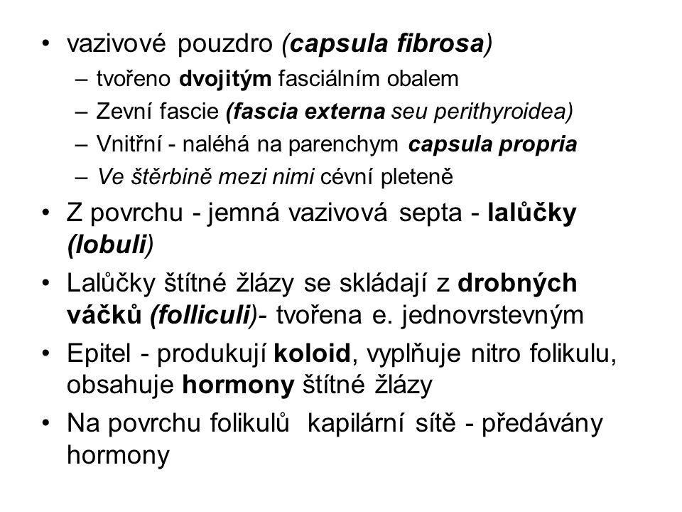 vazivové pouzdro (capsula fibrosa) –tvořeno dvojitým fasciálním obalem –Zevní fascie (fascia externa seu perithyroidea) –Vnitřní - naléhá na parenchym capsula propria –Ve štěrbině mezi nimi cévní pleteně Z povrchu - jemná vazivová septa - lalůčky (lobuli) Lalůčky štítné žlázy se skládají z drobných váčků (folliculi)- tvořena e.