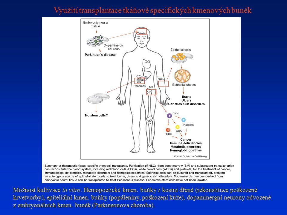 Využití transplantace tkáňově specifických kmenových buněk Možnost kultivace in vitro. Hemopoetické kmen. buňky z kostní dřeně (rekonstituce poškozené