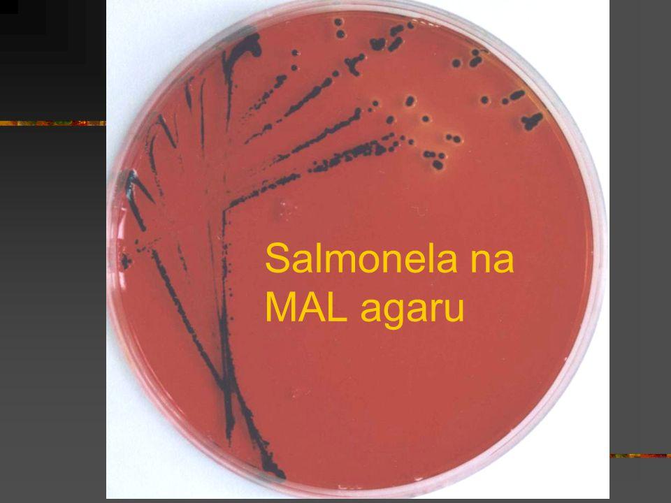 Salmonela na MAL agaru