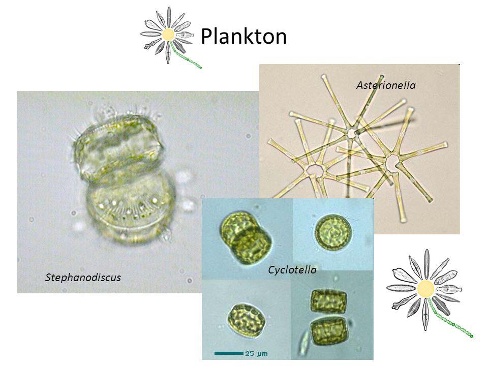 Plankton Stephanodiscus Cyclotella Asterionella