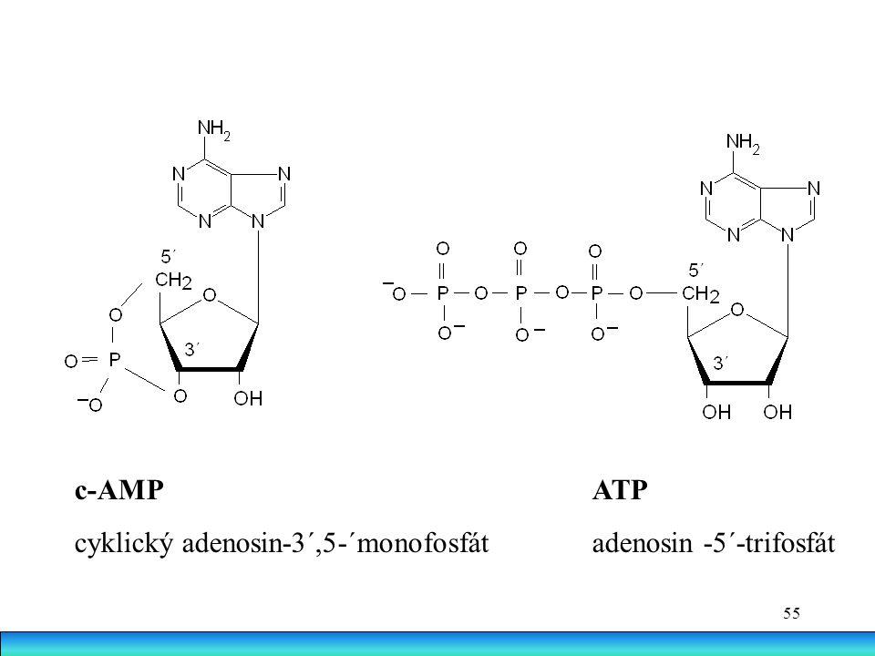 55 c-AMP ATP cyklický adenosin-3´,5-´monofosfát adenosin -5´-trifosfát