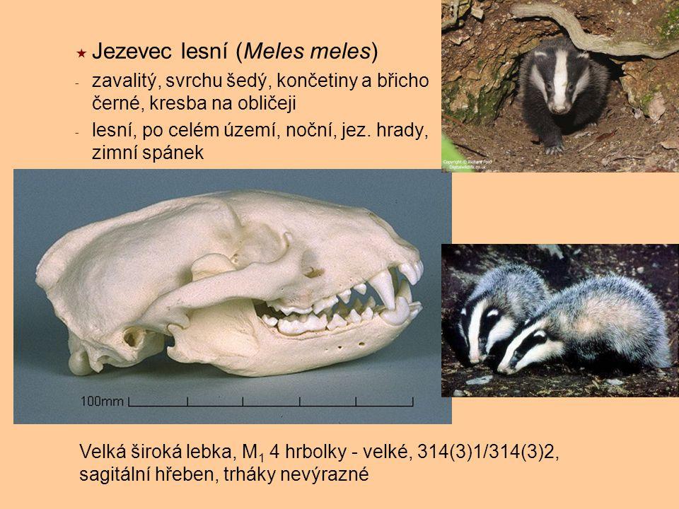 Jezevec lesní (Meles meles) - zavalitý, svrchu šedý, končetiny a břicho černé, kresba na obličeji - lesní, po celém území, noční, jez. hrady, zimní