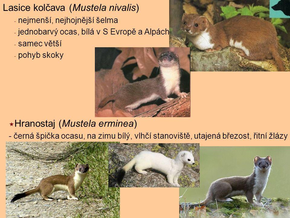 Lasice kolčava (Mustela nivalis) - nejmenší, nejhojnější šelma - jednobarvý ocas, bílá v S Evropě a Alpách - samec větší - pohyb skoky  Hranostaj (Mu