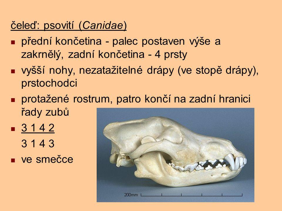 čeleď: psovití (Canidae) přední končetina - palec postaven výše a zakrnělý, zadní končetina - 4 prsty vyšší nohy, nezatažitelné drápy (ve stopě drápy)