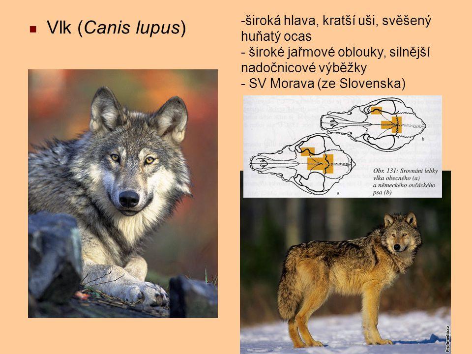 Vlk (Canis lupus) -široká hlava, kratší uši, svěšený huňatý ocas - široké jařmové oblouky, silnější nadočnicové výběžky - SV Morava (ze Slovenska)