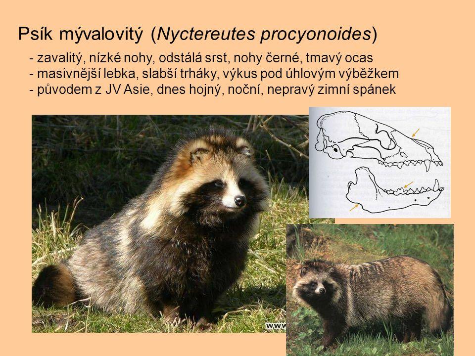 Psík mývalovitý (Nyctereutes procyonoides) - zavalitý, nízké nohy, odstálá srst, nohy černé, tmavý ocas - masivnější lebka, slabší trháky, výkus pod ú