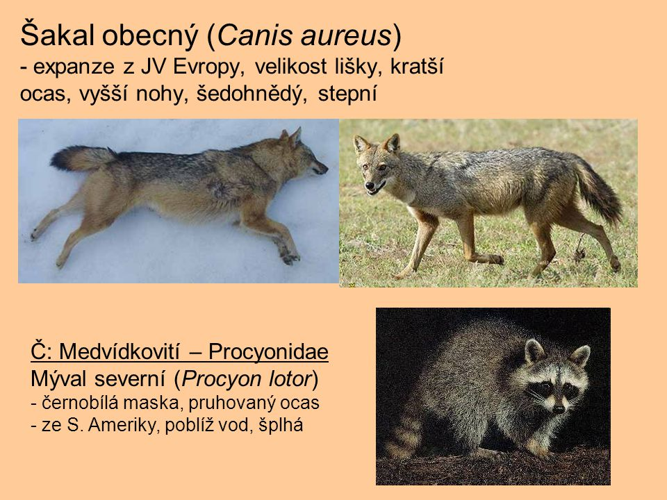 Šakal obecný (Canis aureus) - expanze z JV Evropy, velikost lišky, kratší ocas, vyšší nohy, šedohnědý, stepní Č: Medvídkovití – Procyonidae Mýval seve