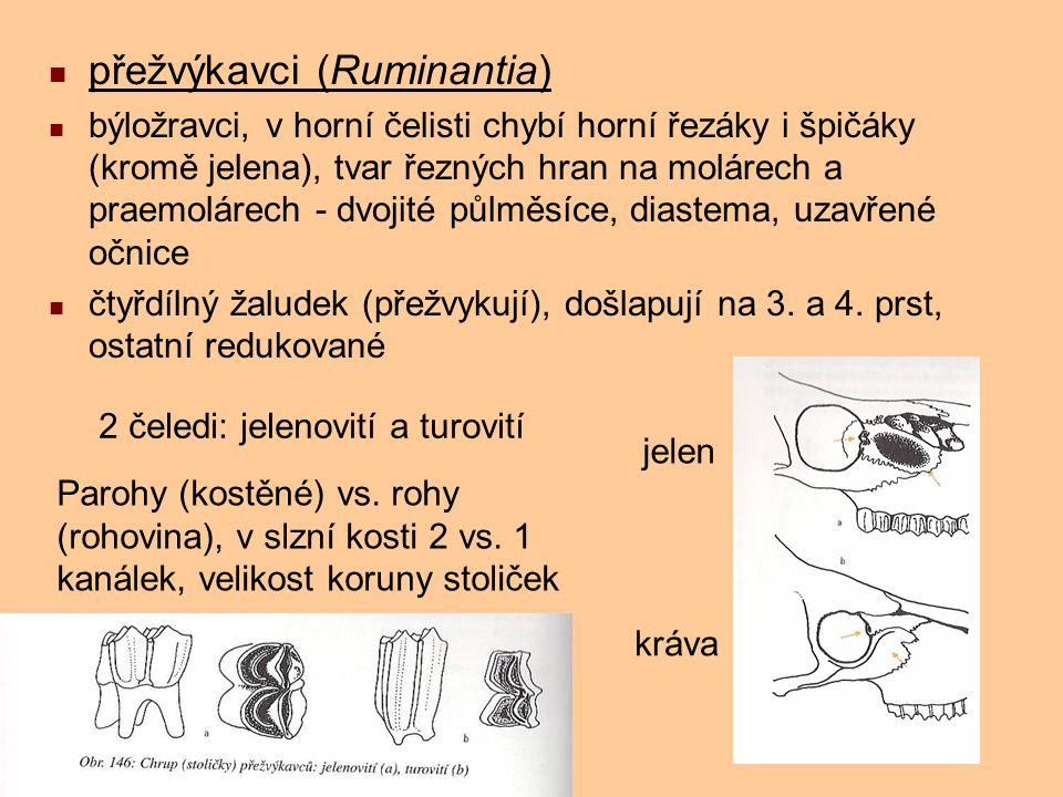 přežvýkavci (Ruminantia) býložravci, v horní čelisti chybí horní řezáky i špičáky (kromě jelena), tvar řezných hran na molárech a praemolárech - dvoji