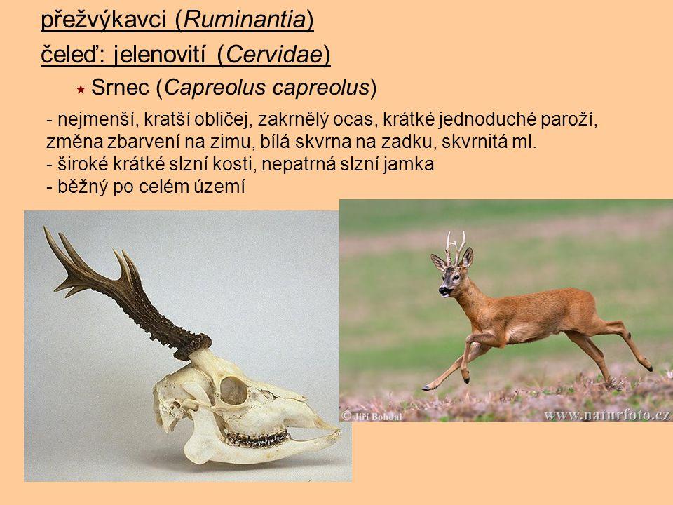 přežvýkavci (Ruminantia) čeleď: jelenovití (Cervidae)  Srnec (Capreolus capreolus) - nejmenší, kratší obličej, zakrnělý ocas, krátké jednoduché parož