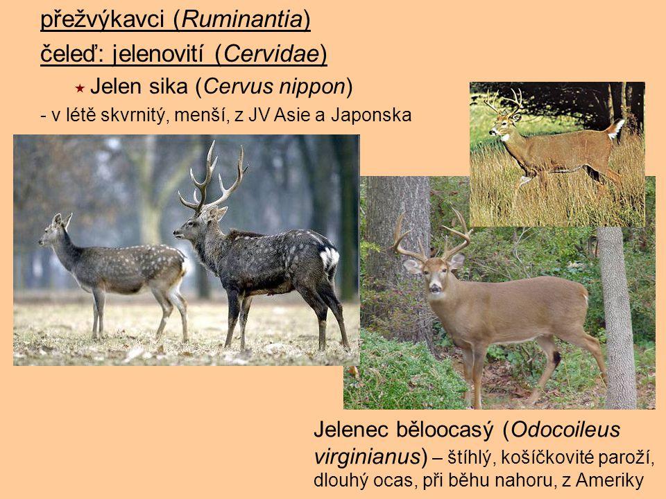 přežvýkavci (Ruminantia) čeleď: jelenovití (Cervidae)  Jelen sika (Cervus nippon) - v létě skvrnitý, menší, z JV Asie a Japonska Jelenec běloocasý (O