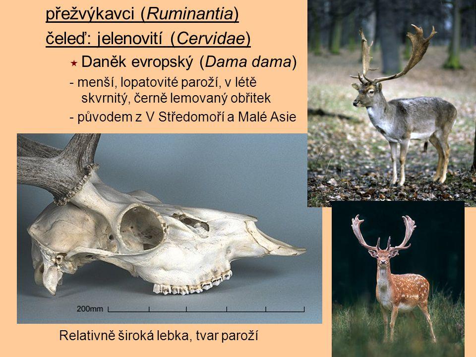 přežvýkavci (Ruminantia) čeleď: jelenovití (Cervidae)  Daněk evropský (Dama dama) - menší, lopatovité paroží, v létě skvrnitý, černě lemovaný obřitek