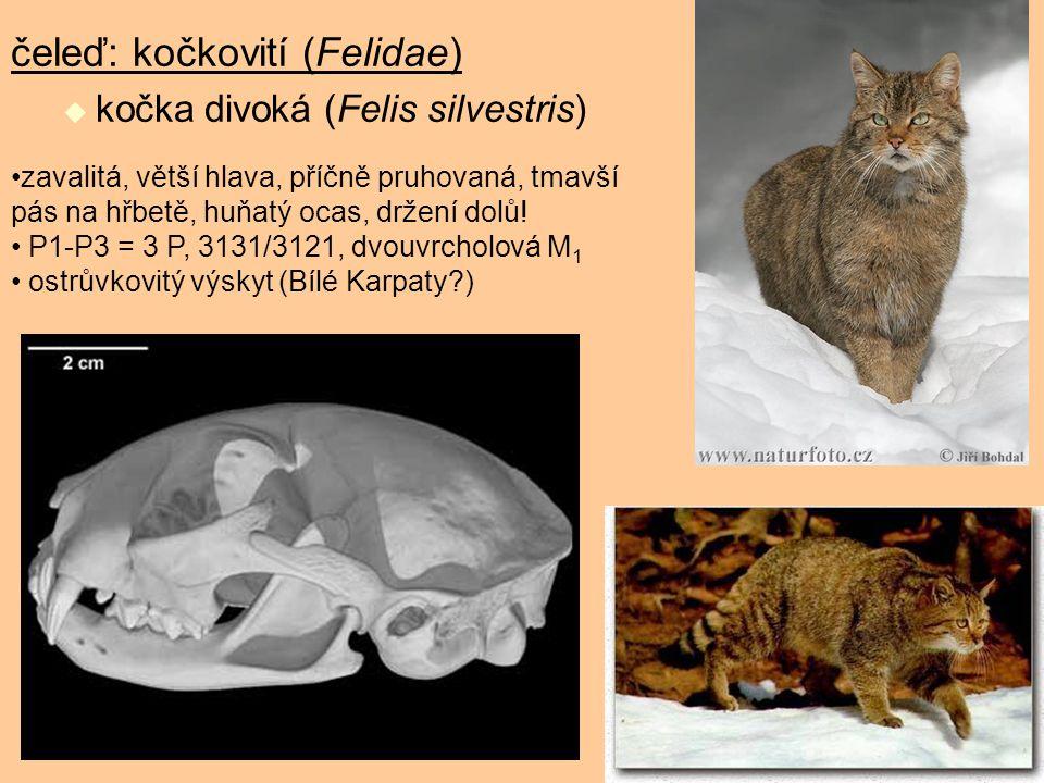 čeleď: kočkovití (Felidae)  kočka divoká (Felis silvestris) zavalitá, větší hlava, příčně pruhovaná, tmavší pás na hřbetě, huňatý ocas, držení dolů!