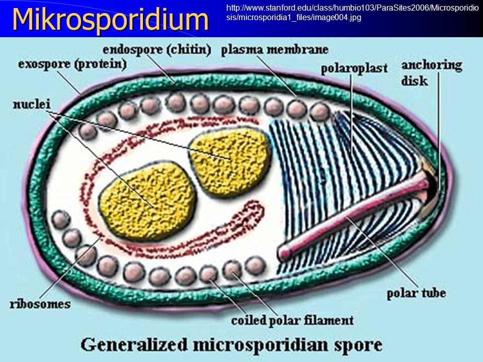 Mikrosporidia http://www.accesscontinuingeducation.com/ACE1000/object.htm