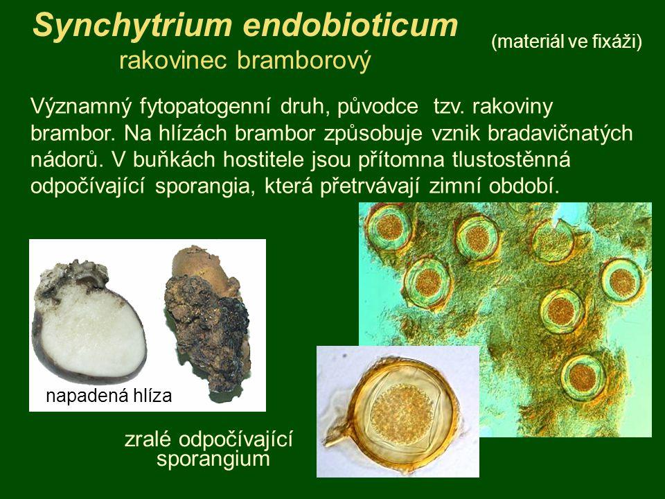 Synchytrium endobioticum rakovinec bramborový (materiál ve fixáži) Významný fytopatogenní druh, původce tzv. rakoviny brambor. Na hlízách brambor způs