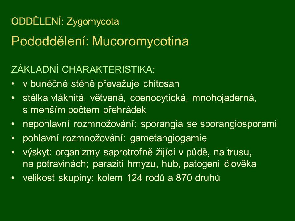 ODDĚLENÍ: Zygomycota Pododdělení: Mucoromycotina ZÁKLADNÍ CHARAKTERISTIKA: v buněčné stěně převažuje chitosan stélka vláknitá, větvená, coenocytická,