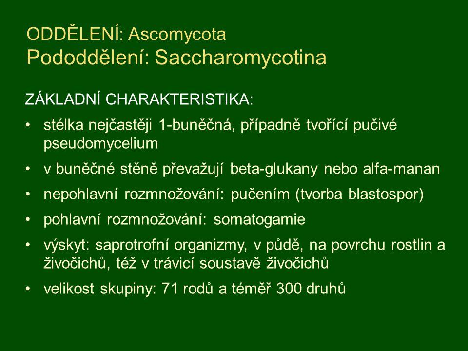 ODDĚLENÍ: Ascomycota Pododdělení: Saccharomycotina ZÁKLADNÍ CHARAKTERISTIKA: stélka nejčastěji 1-buněčná, případně tvořící pučivé pseudomycelium v bun