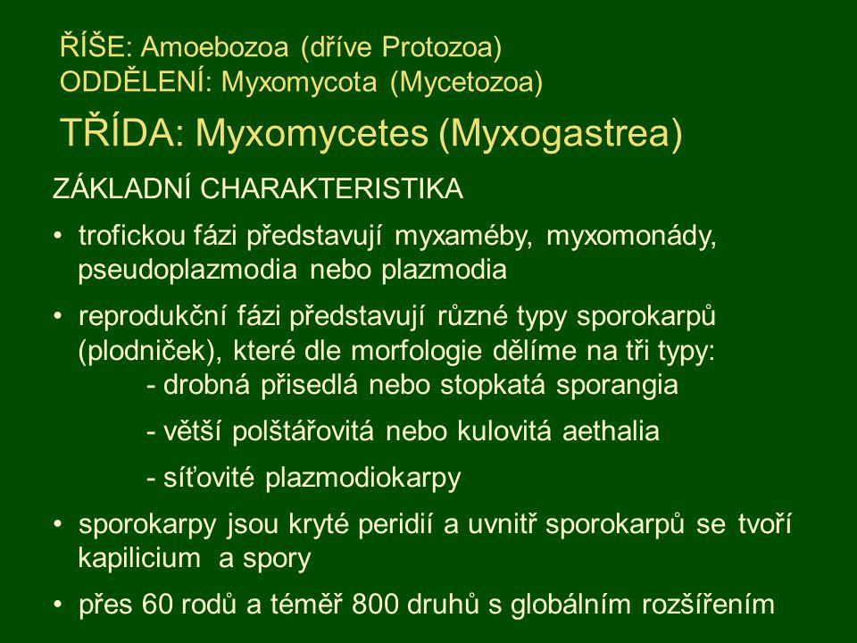 ŘÍŠE: Amoebozoa (dříve Protozoa) ODDĚLENÍ: Myxomycota (Mycetozoa) TŘÍDA: Myxomycetes (Myxogastrea) ZÁKLADNÍ CHARAKTERISTIKA trofickou fázi představují