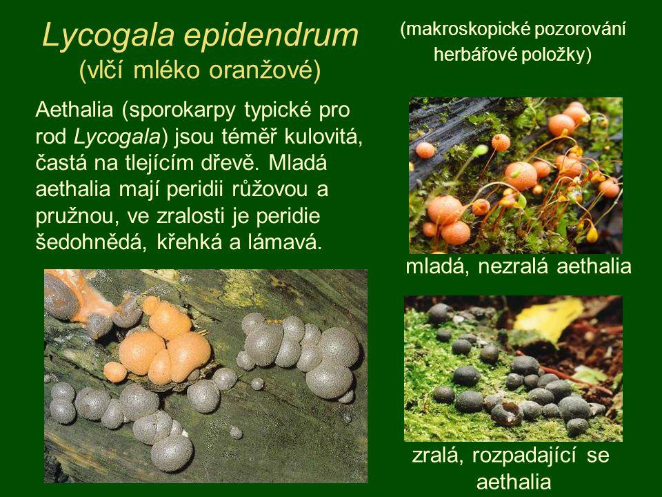 Lycogala epidendrum (vlčí mléko oranžové) (makroskopické pozorování herbářové položky) Aethalia (sporokarpy typické pro rod Lycogala) jsou téměř kulov