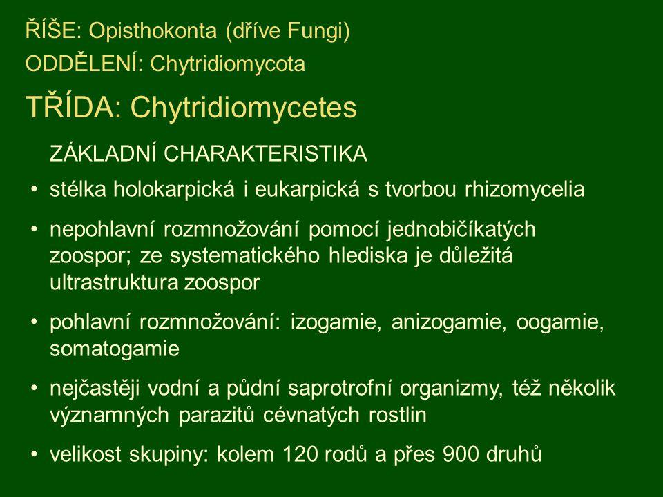 ŘÍŠE: Opisthokonta (dříve Fungi) ODDĚLENÍ: Chytridiomycota TŘÍDA: Chytridiomycetes ZÁKLADNÍ CHARAKTERISTIKA stélka holokarpická i eukarpická s tvorbou