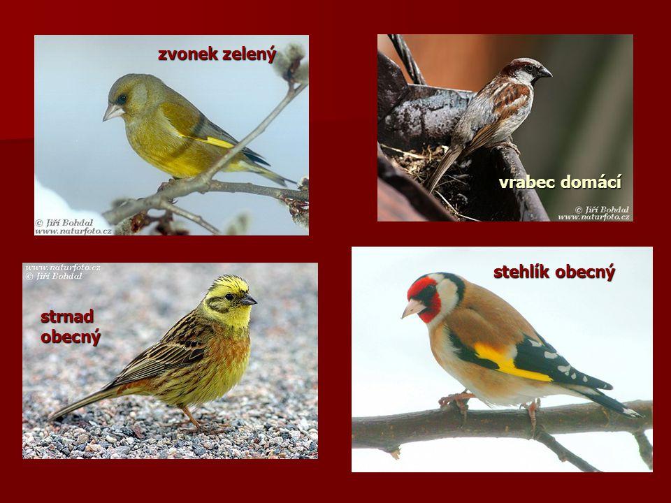 zvonek zelený strnadobecný stehlík obecný vrabec domácí