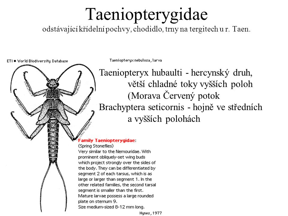 Taeniopterygidae odstávající křídelní pochvy, chodidlo, trny na tergitech u r. Taen. Taeniopteryx hubaulti - hercynský druh, větší chladné toky vyššíc