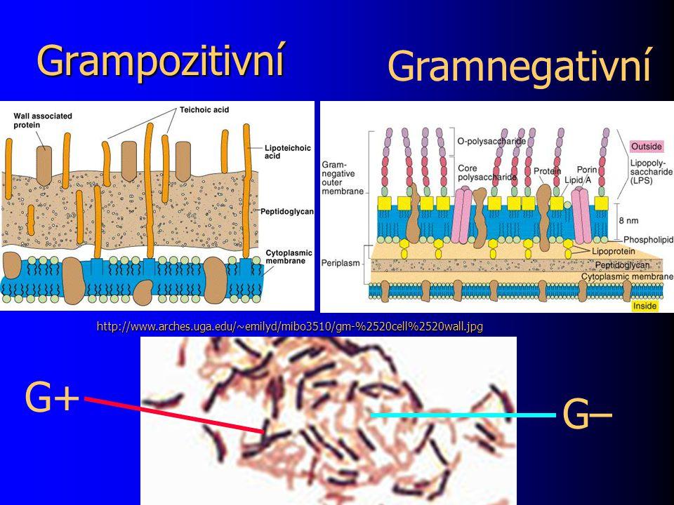 Grampozitivní Gramnegativní G+ G– http://www.arches.uga.edu/~emilyd/mibo3510/gm-%2520cell%2520wall.jpg