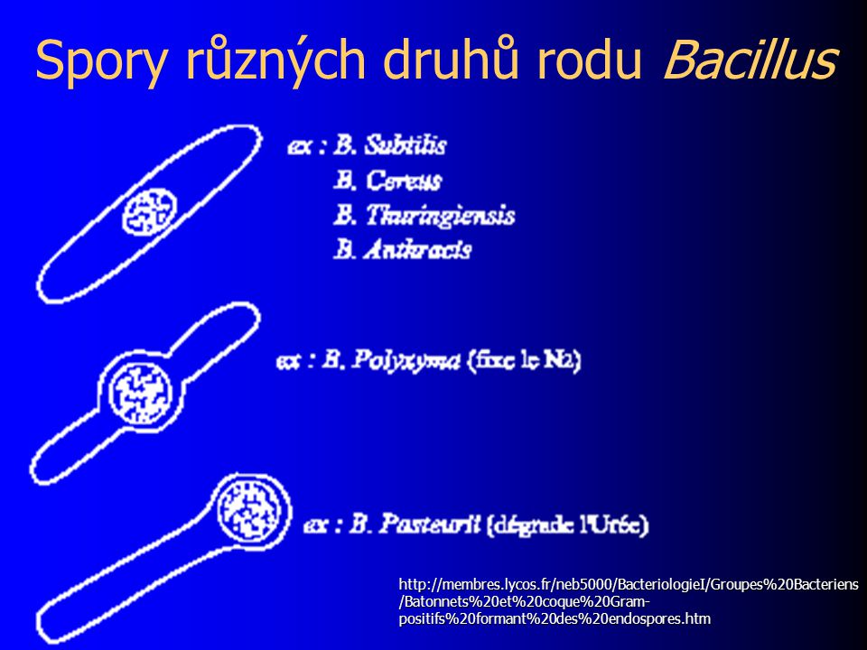 Spory různých druhů rodu Bacillus http://membres.lycos.fr/neb5000/BacteriologieI/Groupes%20Bacteriens /Batonnets%20et%20coque%20Gram- positifs%20formant%20des%20endospores.htm