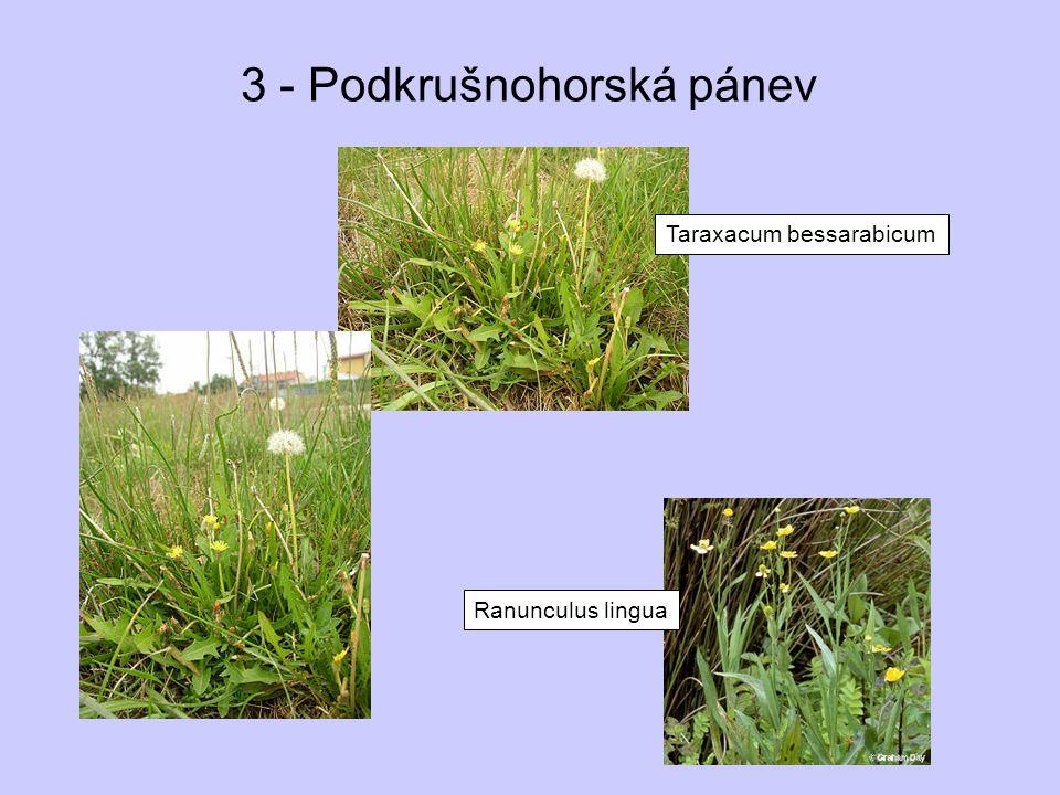 3 - Podkrušnohorská pánev Taraxacum bessarabicum Ranunculus lingua