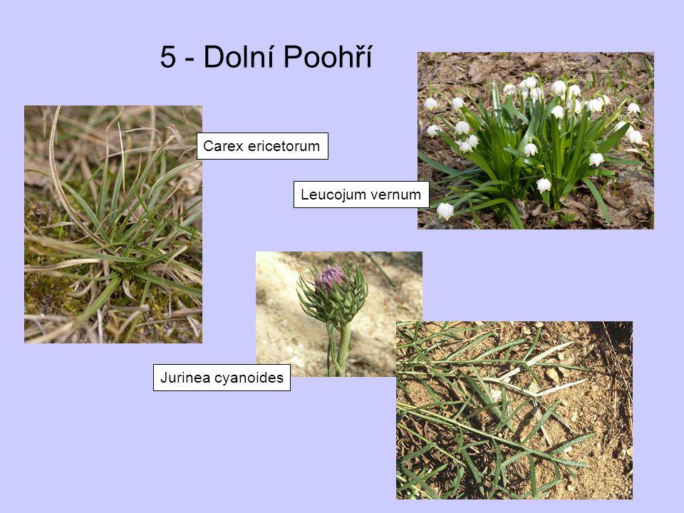 5 - Dolní Poohří Carex ericetorum Jurinea cyanoides Leucojum vernum