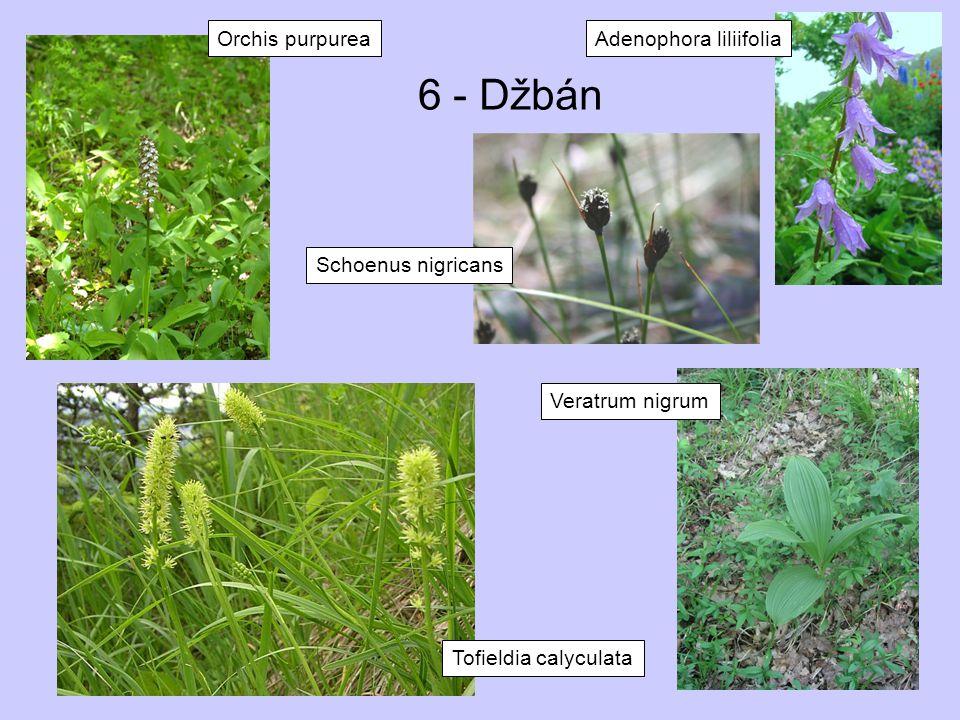 6 - Džbán Tofieldia calyculata Veratrum nigrum Orchis purpurea Schoenus nigricans Adenophora liliifolia