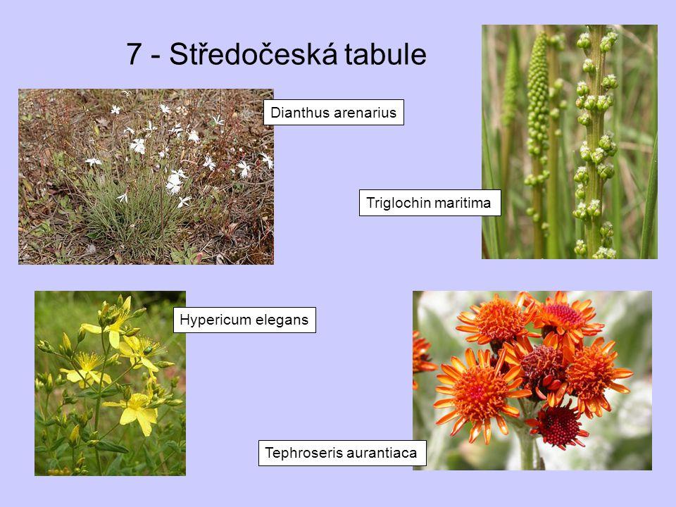 7 - Středočeská tabule Dianthus arenarius Triglochin maritima Tephroseris aurantiaca Hypericum elegans
