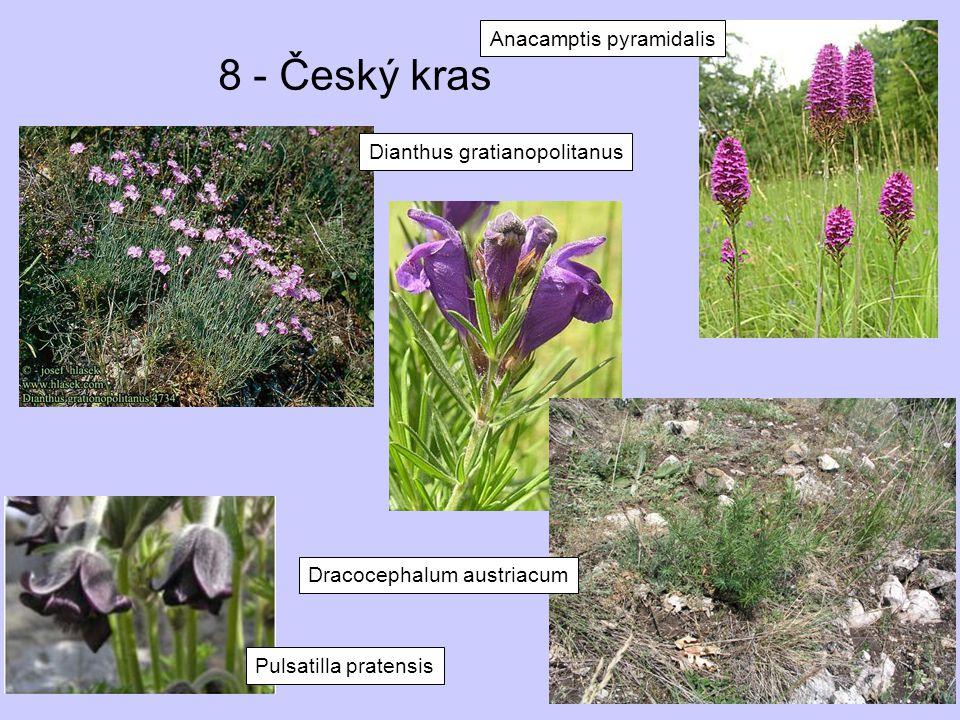 8 - Český kras Anacamptis pyramidalis Pulsatilla pratensis Dianthus gratianopolitanus Dracocephalum austriacum