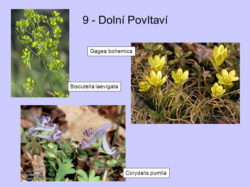 9 - Dolní Povltaví Gagea bohemica Biscutella laevigata Corydalis pumila