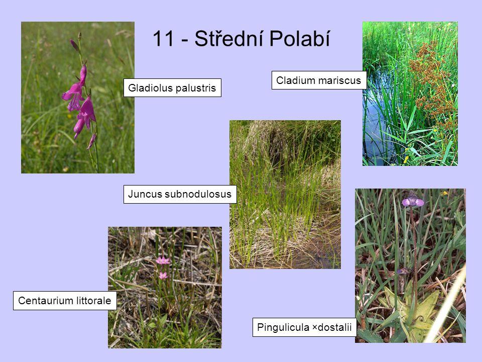 11 - Střední Polabí Gladiolus palustris Pingulicula ×dostalii Cladium mariscus Juncus subnodulosus Centaurium littorale