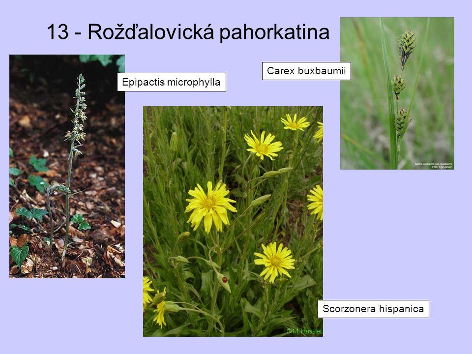 13 - Rožďalovická pahorkatina Epipactis microphylla Scorzonera hispanica Carex buxbaumii
