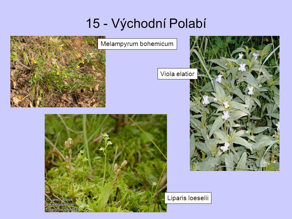 15 - Východní Polabí Melampyrum bohemicum Viola elatior Liparis loeselii